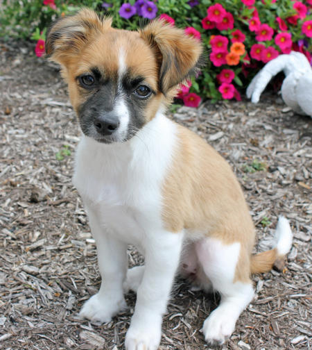 Puppy Breed Chihuahua Jack Russell Terrier For Adoption