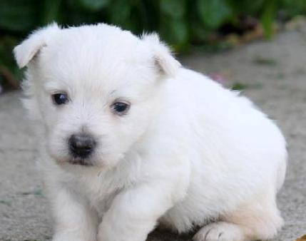 Lovely Male And Female Westie Puppies For Sale
