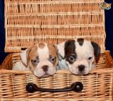 MALE AND FEMALE ENGLISH BULLDOG PUPPIES AVAILABLE