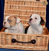 ALL PAPERS ENGLISH BULLDOG PUPPIES FOR SALE TO GOOD HOMES