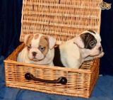 KC REG ENGLISH BULLDOG PUPPIES READY FOR SALE